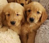 Cachorritos Golden Retriever