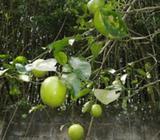 Limón Dulce