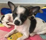 Hermosos Chihuahuas de bolsillo