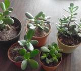 5x10mil.Plantas de Jade,arbolitos,simbolo salud,suerte.lindos