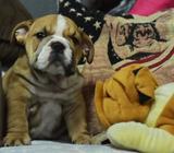 Bulldog Ingles Macho