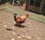 Se Vende Gallo Sedoso